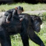 Ludzka matka może sobie pozwolić na dwoje dzieci w czasie, gdy szympansica odchowa jedno.