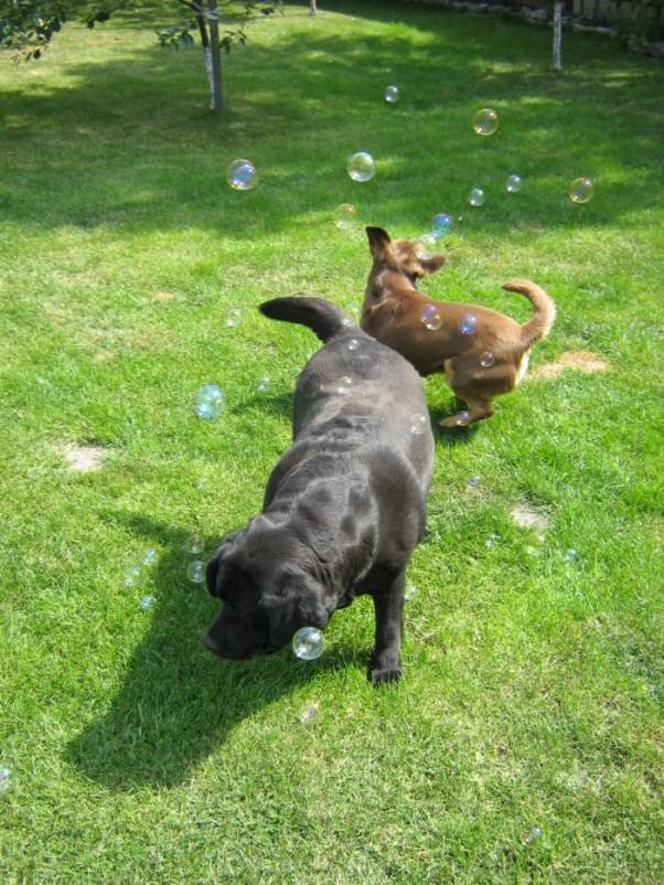 Bańki nie tylko dla dzieci;-) Bańki mydlane to świetna sprawa\ndla Soni i Diany to super zabawa.\nBańki fruwają i odlatują\na psy je gonią i podskakują.\nGdy bańkę dorwie jeden lub drugi pies\nw jego pysku pęka... i tak kończy swój kres.